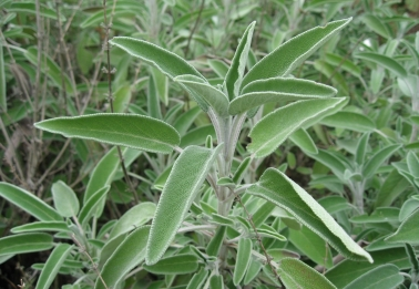 Fenomenologia di Salvia officinalis